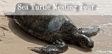 Click here to learn more about Sea Turtle Nesting