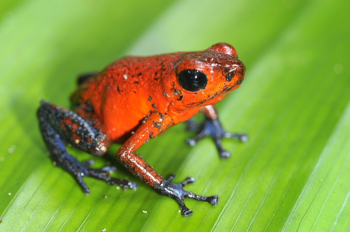 Red frog of Costa Rica