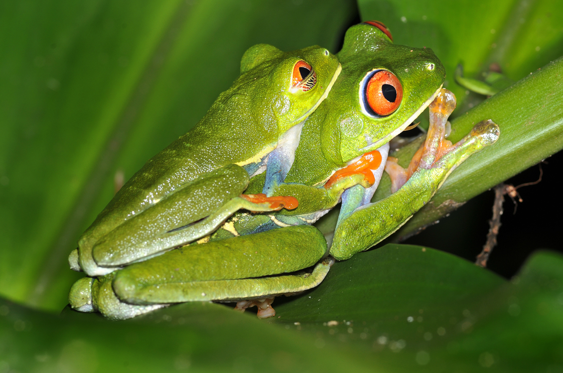 Green frog of Costa Rica